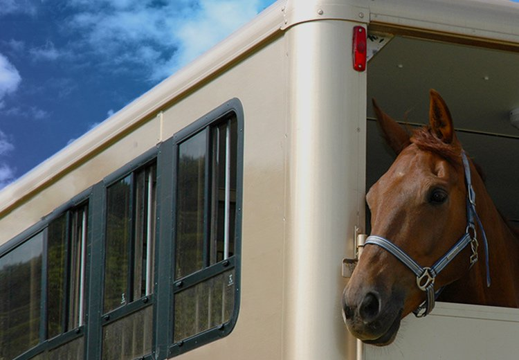 Horse looking out of a horse trailer
